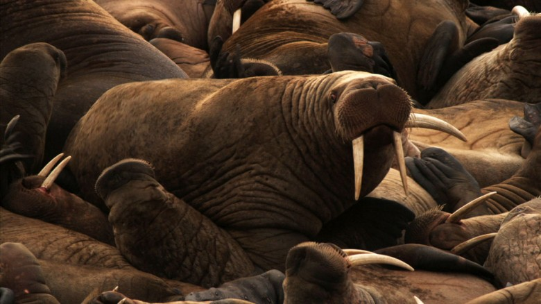 Walrus haul-out, Chukchi Sea (National Geographic Television)